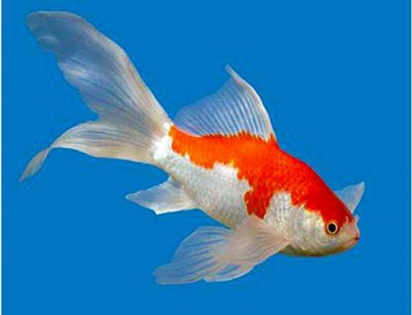 """Care Level: Easy Temperament: Peaceful Temp: 32-95° F KH 2-12 pH 6.8-8.2 Max. Size: 1' 2"""" Color Form: Orange, Red, White Diet: Omnivore Origin: China Family: Cyprinidae Sarasa Fantail Goldfish are an ideal long term Goldfish! They display a very bright red and white pattern (usually referred to as Blue) on a shorter, rounded body with a wide, flowing fantail. Other colors may include, Black & Red, Solid Black, Solid White, & Calico. The reds of Sarasa Fantail Goldfish are generally deeper and more vibrant than the reds of most other goldfish which give them a stunning appearance! Sarasa Fantails can be kept in combination with Koi, Butterfly Koi and other types of Goldfish, however, take care when mixing large Koi and Butterfly Koi with smaller Sarasa Fantail Goldfish."""