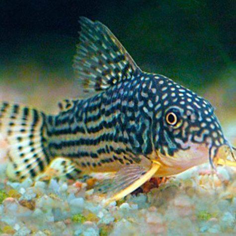 Cory Cat Aquarium Fish
