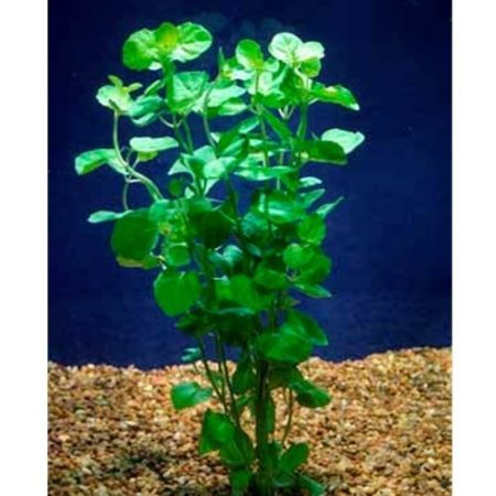Creeping Mint Charlie Freshwater Aquarium Plant