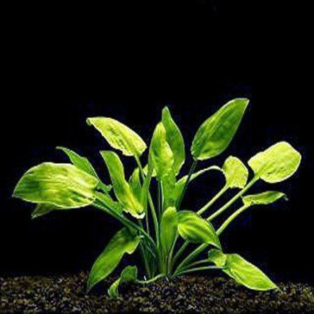 Cryptocoryne Pontederifolia Aquarium Plant