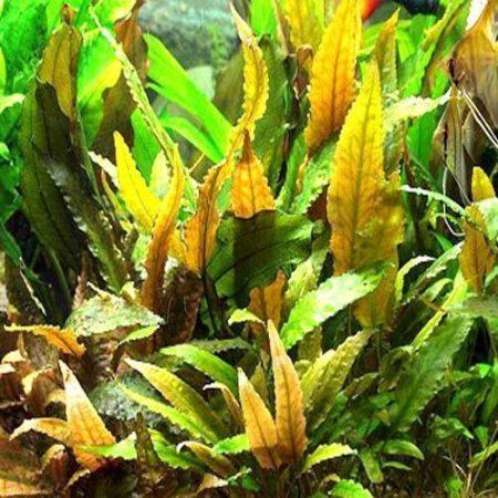 Cryptocoryne Wendtii Copper Aquarium Plant