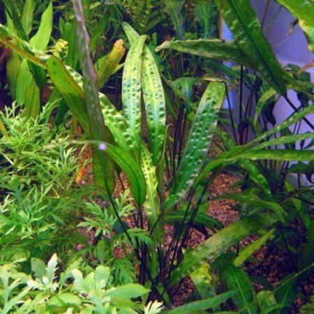 Cryptocoryne usteriana Aquarium Plant