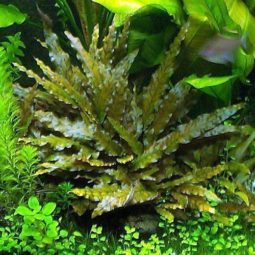 Tình yêu cây cỏ ĐV2 - Page 92 Cryptocoryne-wendtii-tropica