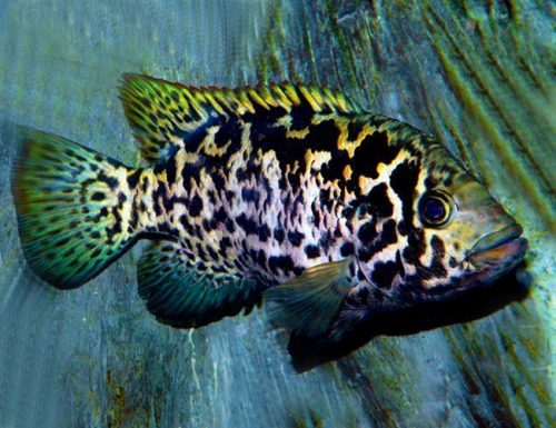 Cuban Cichlid Pond Fish