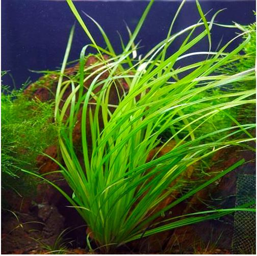 Cyperus Helferi Fresh Water Aquarium Plant