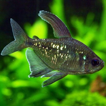 Diamond Tropical Tetra
