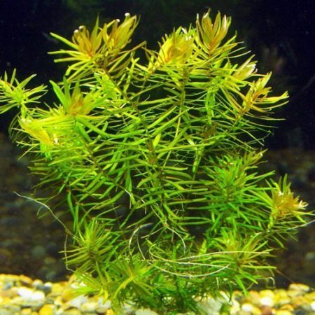 Diandra or Blood Stargrass Plant