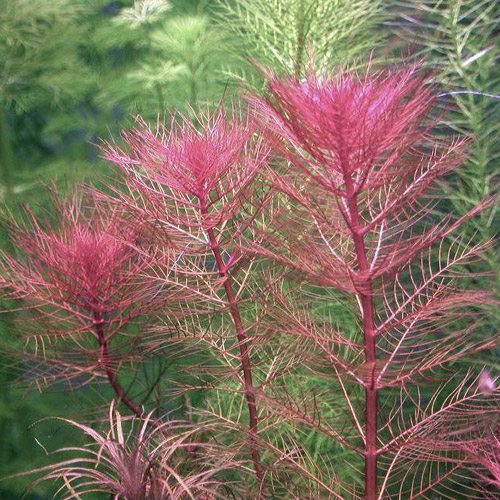 Dragonfire Foxtail Bunched Aquarium Plant