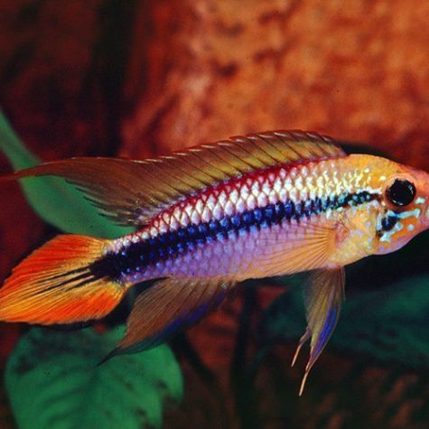 Dwarf Double Scarlet Red Agassizi Cichlid