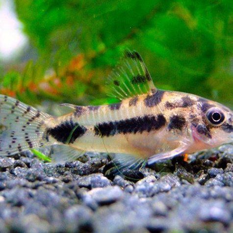 Dwarf Habrosus Cory Catfish