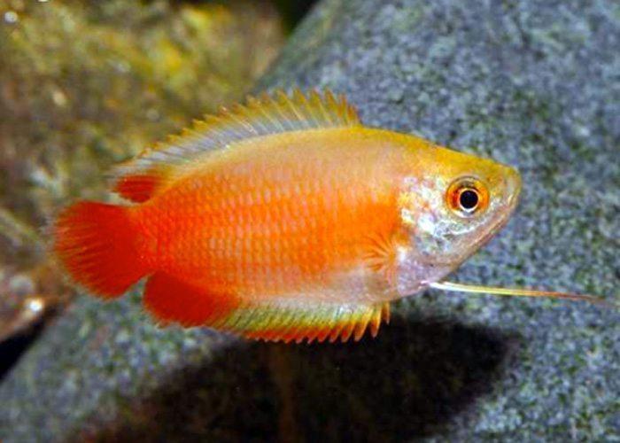 Dwarf Honey Red Gourami Fish Arizona Aquatic Gardens