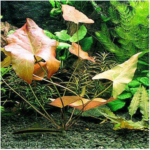 Dwarf Lily Bulb Aquarium Plant Bulb