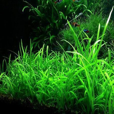 Dwarf Narrow Sagittaria Subulata plants