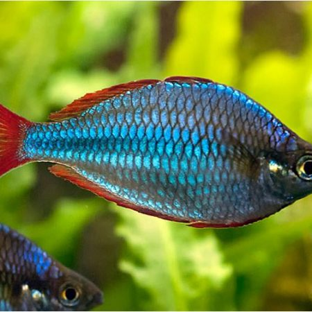 Dwarf Neon Praecox Large Tropical Rainbowfish