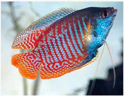 Dwarf Thicklip Sunset Gourami Fish