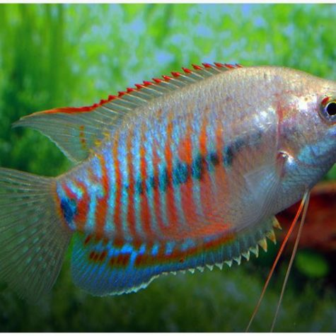 Dwarf Thicklip Sunset Gourami Fish