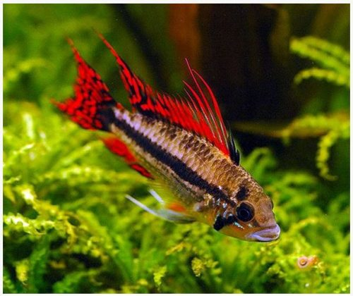 Dwarf Triple Red Cacatuoides Cichlid