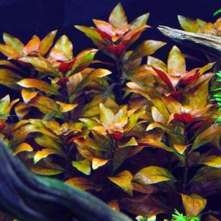 East Asian Ludwigia Oval Leaf Bunched Aquarium Plant