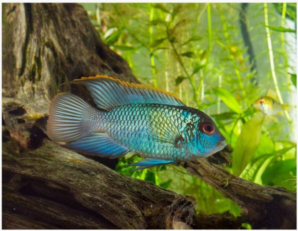 Electric Blue Acara