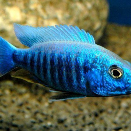 Electric Blue Hap Cichlid