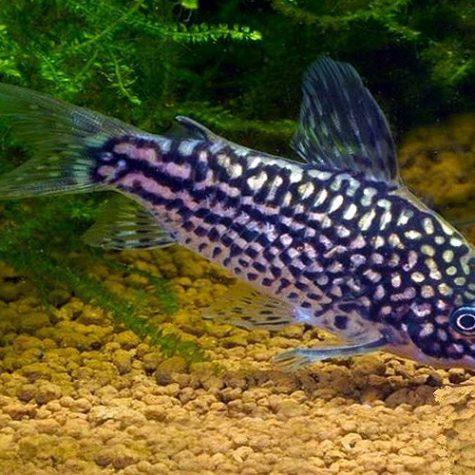 Elegans Cory Catfish