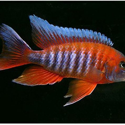 Eureka Red Cichlid