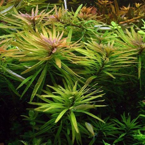 Eusteralis Bunched Freshwater Aquarium Plant