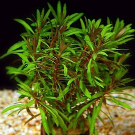 Eusteralis Freshwater Potted Plant