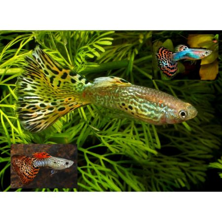 Fancy Male Guppy Freshwater Aquarium Fish
