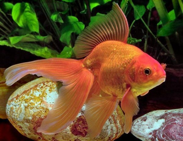 Fancy Red Fantail Goldfish