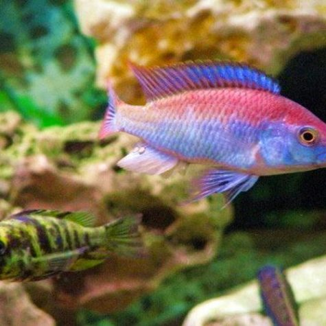 Flameback Cichlid, Freshwater Aquarium Fish