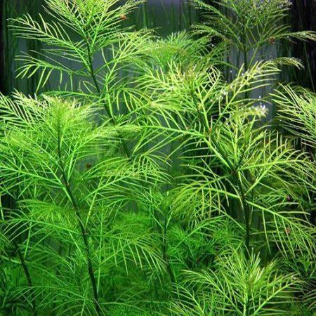 Foxtail Myriophyllum Mattogrossense Green Form Bunched Aquarium Plant