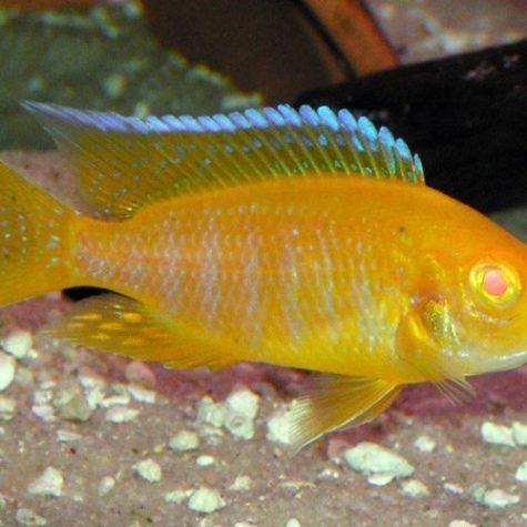 Peacock Aulanocara Albino Sunburst Cichlid
