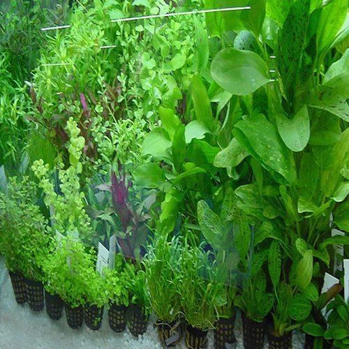 Freshwater Aquarium Plant Assortment