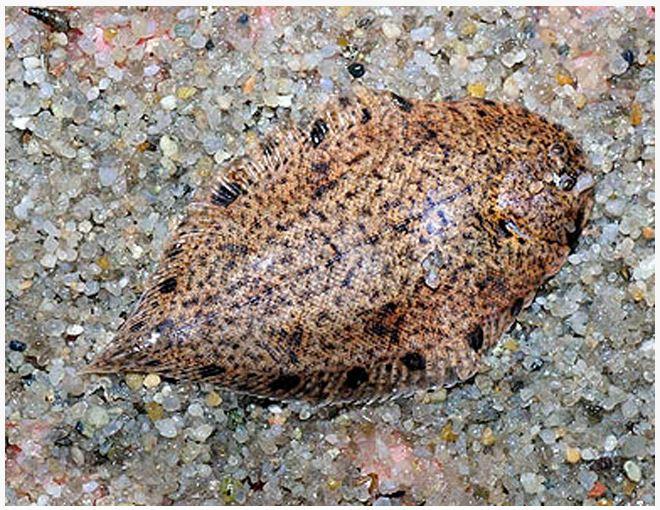 Freshwater Flounder Aquarium Fish