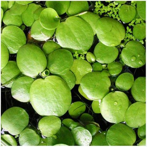 Floating Surface Pond Plants
