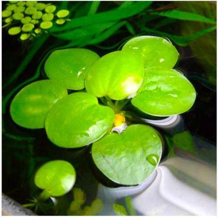 Frogbit American Aquatic Plant for freshwater aquariums
