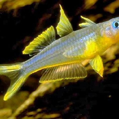 Furcata Tropical Rainbowfish