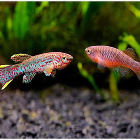 Gardneri Clown Killifish