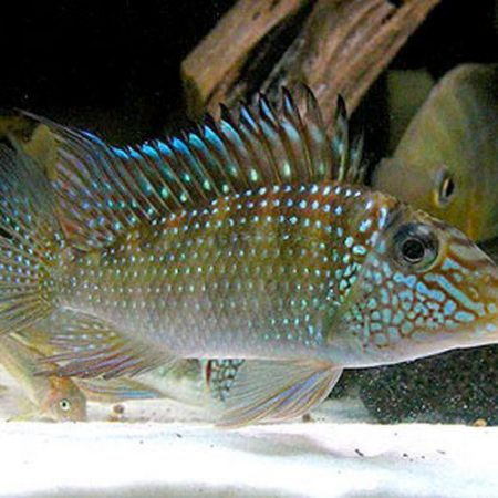 Geophagus Jurupari Cichlid Pond Fish