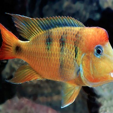 South & Central American Cichlids