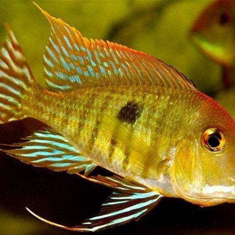 Geophagus Red Head Tapajos Fish