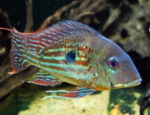 Geophagus Winemilleri Stripetail Cichlid
