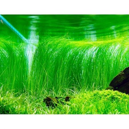 Giant Hairgrass Eleocharis montevidensis Potted