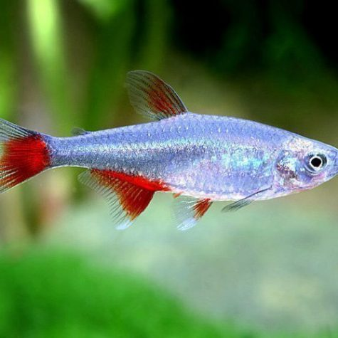 Glass Bloodfin Tropical Tetra