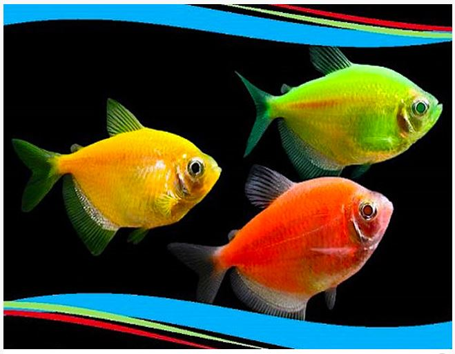 GloFish® GloTetra