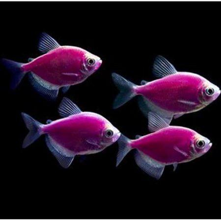GloFish® Purple GloTetra