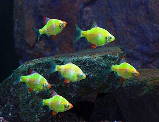 GloFish ® Barb