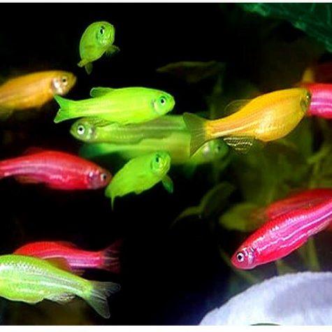 GloFish ® Danios Assortment Pack