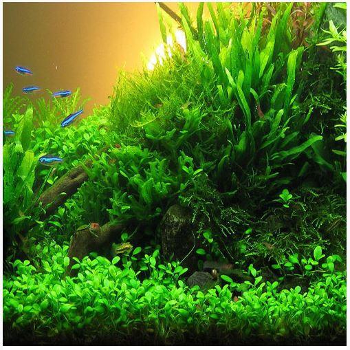 Glossostigma Elatinoides Aquarium Plant 2